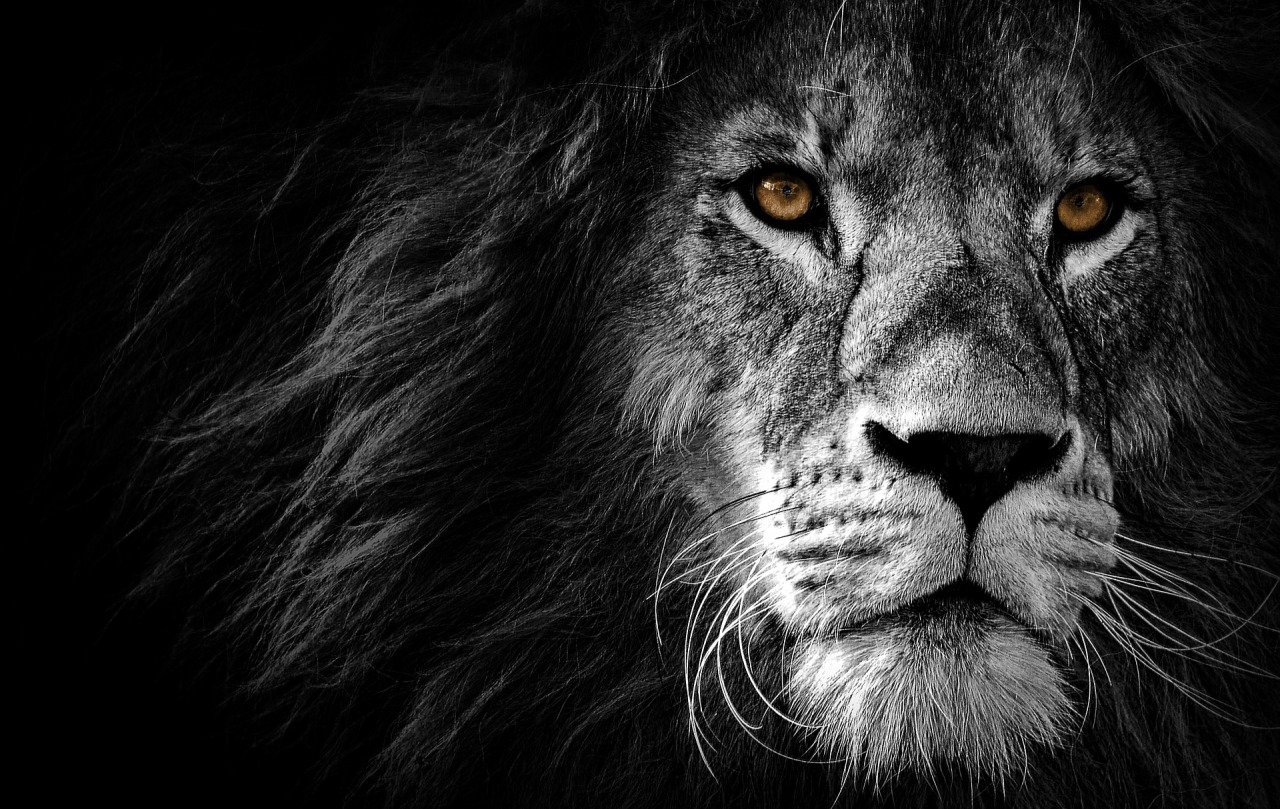 Grayscale lion with brown eyes